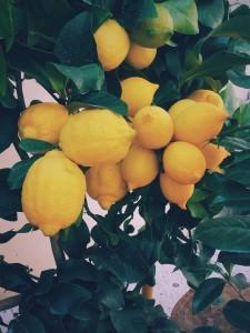 citroner på träd i närbild